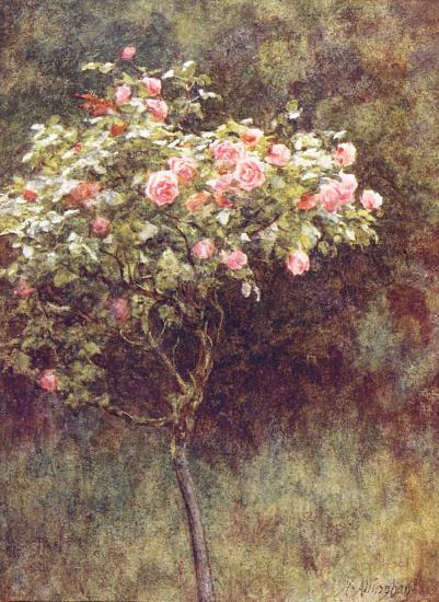 Study of a Rose Bush